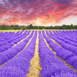 Sunset in a lavender field — Stock Photo