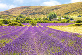 Lavender in Provence — Stock Photo