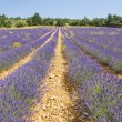 Lavender in Provence, Provence — Stock Photo