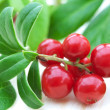 Fresh cowberry — Stock Photo #11606417