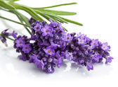 Lavender flower isolated — Stock Photo