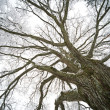 Stock Photo: Old tree
