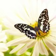 Butterfly sitting on a chamomile flower — Stock Photo