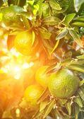 Portakal ağacı close-up — Stok fotoğraf