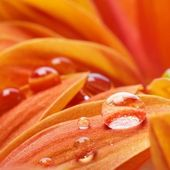 Orange flower petals with water drops on it — Stock Photo