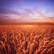 Beautiful evening sky over wheat field — Stock Photo