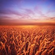 Stock Photo: Beautiful evening sky over wheat field