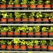 Many pots with a green plants — Stock Photo
