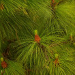 Close-up of a fir tree — 图库照片