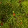 Close-up of a fir tree — Stock Photo