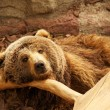 Brown bear — Foto de stock #12373972