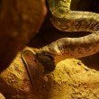 Snake eating a mouse - 
