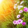 Flowers on sunny field — Stock Photo
