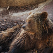 Brown bear lying down - Stock Photo