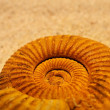 Antique snail shell close-up - Stock Photo