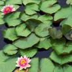Beautiful pink water lilly — Stock Photo