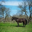 Beautiful black horse outdoor — Foto de Stock