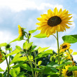 Beautiful sunflowers against blue sky — Foto Stock
