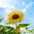 Beautiful sunflowers against blue sky — Stock Photo