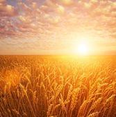 Pšeničné pole nad zamračená obloha — Stock fotografie