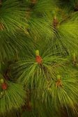 Close-up of a fir tree — Stock Photo