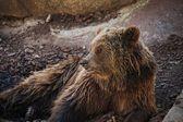 бурый медведь, лежа. — Стоковое фото