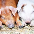 Two pigs, pig, piglets — Stock Photo