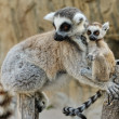 Madagascar's ring-tailed lemur with the small cub on a back. — Stock Photo