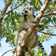 Madagascar's Ring-tailed lemur sitting on the tree. - Stock Photo