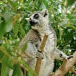 Madagascar's Ring-tailed lemur sitting on the tree. — Stock Photo