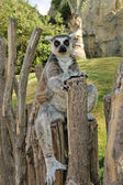 Madagascar's ring-tailed lemur sitting in funny pose outdoors. — Stock Photo