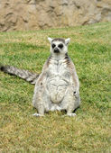 Madagascar's ring-tailed lemur sitting in funny pose on the gras — Stock Photo
