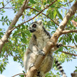 Madagascar's Ring-tailed lemur sitting on the tree. — Stok fotoğraf