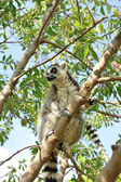 Madagascar's Ring-tailed lemur sitting on the tree. — Stock Photo
