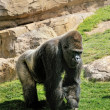 Big male gorilla on the nature - Stock Photo