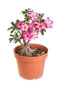 Desert rose impala-lilie-mock-azalee — Stockfoto