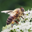 Stock Photo: Bee closeup
