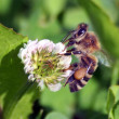 Busy honey bee closeup — Stock Photo