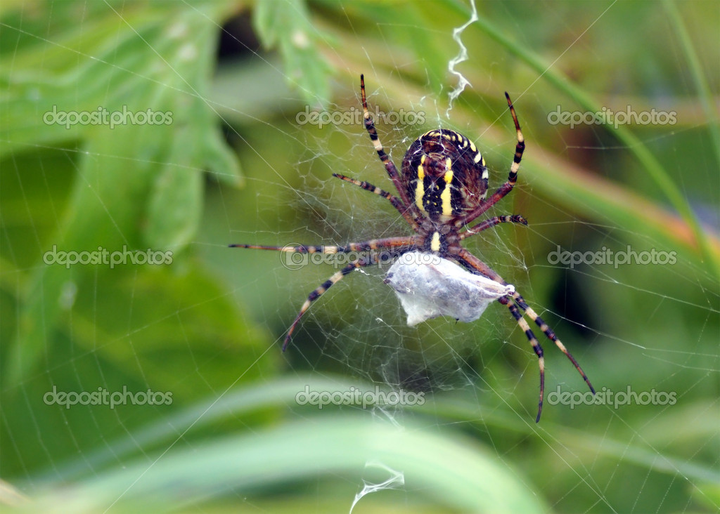 Closeup of a spider weaving on web with its prey on green natural background. — Stock Photo #12123990