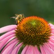 Bee on the flower echinacea - Stock Photo