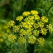 Stock Photo: Inflorescence of dill