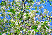 Blossom of cherry tree flowers — Foto Stock