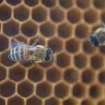 abelhas na colmeia — Foto Stock