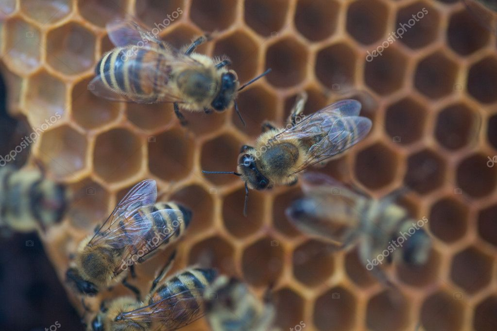 Shot of bees swarming on a honeycomb — Stok fotoğraf #11561929