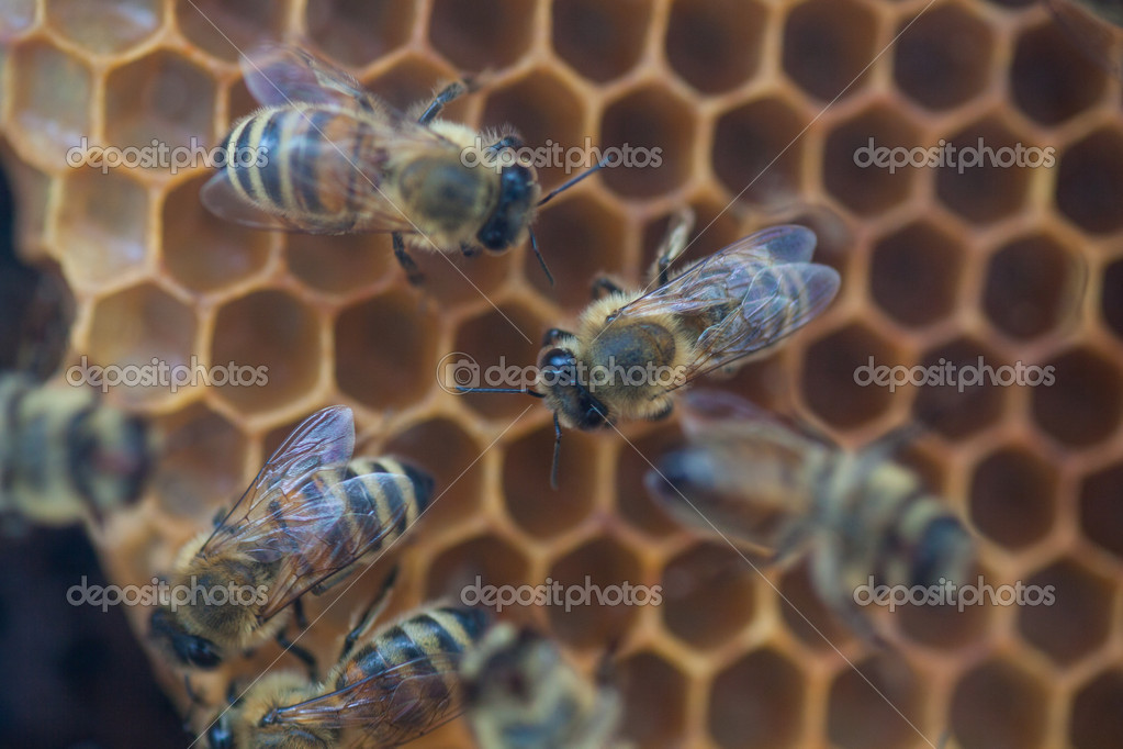 Shot of bees swarming on a honeycomb  Photo #11561929