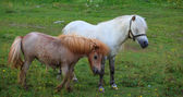 Two Ponies grazing — Foto de Stock