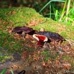 Lingzhi mushroom or reishi mushroom - ganoderma lucidum — Stock Photo #12080865