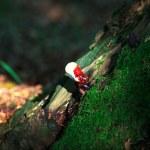 Lingzhi mushroom or reishi mushroom - ganoderma lucidum — Stock Photo #12081550