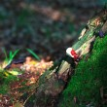 Lingzhi mushroom or reishi mushroom - ganoderma lucidum — Stock Photo