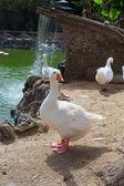 Goose in the Margherita park, Trapani — Stock Photo